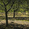 Orchard In West Michigan No. 279 by Randall Nyhof