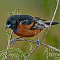 Orchard Oriole by Anthony Mercieca
