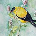 Orchard Oriole by Christine Lathrop
