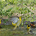 Orchard Orioles by Anthony Mercieca
