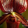 Orchid 132 by Rudi Prott