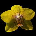 Orchid 15 by Ingrid Smith-Johnsen
