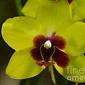 Orchid 153 by Rudi Prott