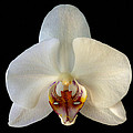 Orchid 2 by Ingrid Smith-Johnsen