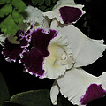orchid 220 Cattleya Moscombe 'The King'  2 of 3 by Terri Winkler