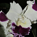orchid 221 Cattleya Moscombe 'The King'  1 of 3 by Terri Winkler