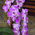 Orchid Beauties by Lingfai Leung