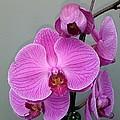 Orchid Beauty by Jo-Ann Hayden