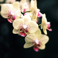 Orchid Blossom by Jessica Jenney