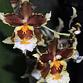 Orchid Brown Yellow White Macro by Terri Winkler