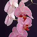 Orchid Cascade by Bill Morgenstern