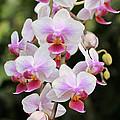 Orchid Cascade by Harold Rau