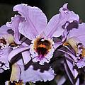 Orchid Cattleya Percivaliana Christmas Cattleya by Terri Winkler