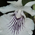 Orchid Cochleanthes Aromatica  Menehune by Terri Winkler