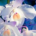 Orchid Dreams by Sharon Mau