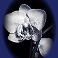 Orchid Elegance 2 by Chalet Roome-Rigdon