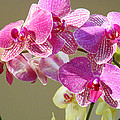 Orchid Flowers Art Prints Pink Orchids by Baslee Troutman