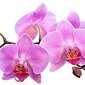 Orchid Flowers II - Pink by Natalie Kinnear