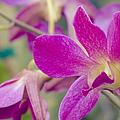 Orchid - Haliimaile Spring Pink by Sharon Mau
