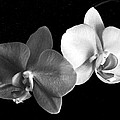 Orchid In Black And White by Steve Karol