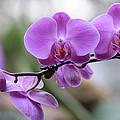 Orchid In Bloom by Harold Rau
