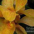 Canna Lily by Jacklyn Duryea Fraizer