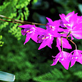 Orchid (laelia Gouldiana) by Anthony Cooper/science Photo Library