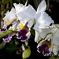Orchid Laeliocattleya Lucie Hausermann With Buds 4074 by Terri Winkler