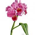 Orchid - Lc. Culminant La Tuilerie by Richard Harpum