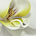 Orchid by Lisa Bryant