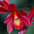Orchid Love by Dale Kincaid