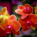 Orchid Melody by Karen Wiles