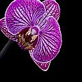 Orchid On Black Background by Deb Buchanan