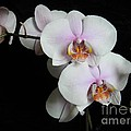 Orchid Portrait by Chalet Roome-Rigdon