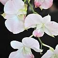 Orchid by Radhika Nair