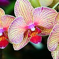 Orchid Trio by Kathleen Struckle