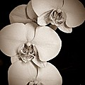 Orchid Trio Sepia by Chalet Roome-Rigdon