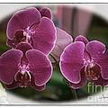 Orchid Trio by Susan  Lipschutz