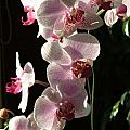 Orchid Tropical Blooms by Rebecca Overton