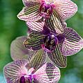 Orchid Two by Ken Frischkorn