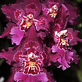 Orchid Vuylstekeara Aloha Passion by Terri Winkler