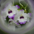 Orchid Wine Swirl by Penny Lisowski