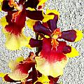 Orchids 17 by Ron Kandt