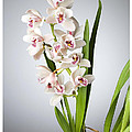 Orchids 4 by Mauro Celotti