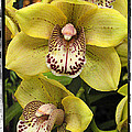 Orchids  9 by Zbigniew Krol