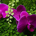 Orchids And Baby Tears by Roger Mullenhour