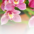 Orchids by Carlos Caetano