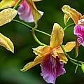 Orchids by Carol Montoya