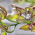 Orchids  by Christie  Wilson