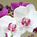 Orchids Floral Art Prints White Pink Orchid Flowers by Baslee Troutman